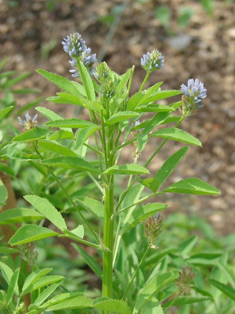 Пажитник - это однолетнее травянистое растение, входящее в семейство бобовых.