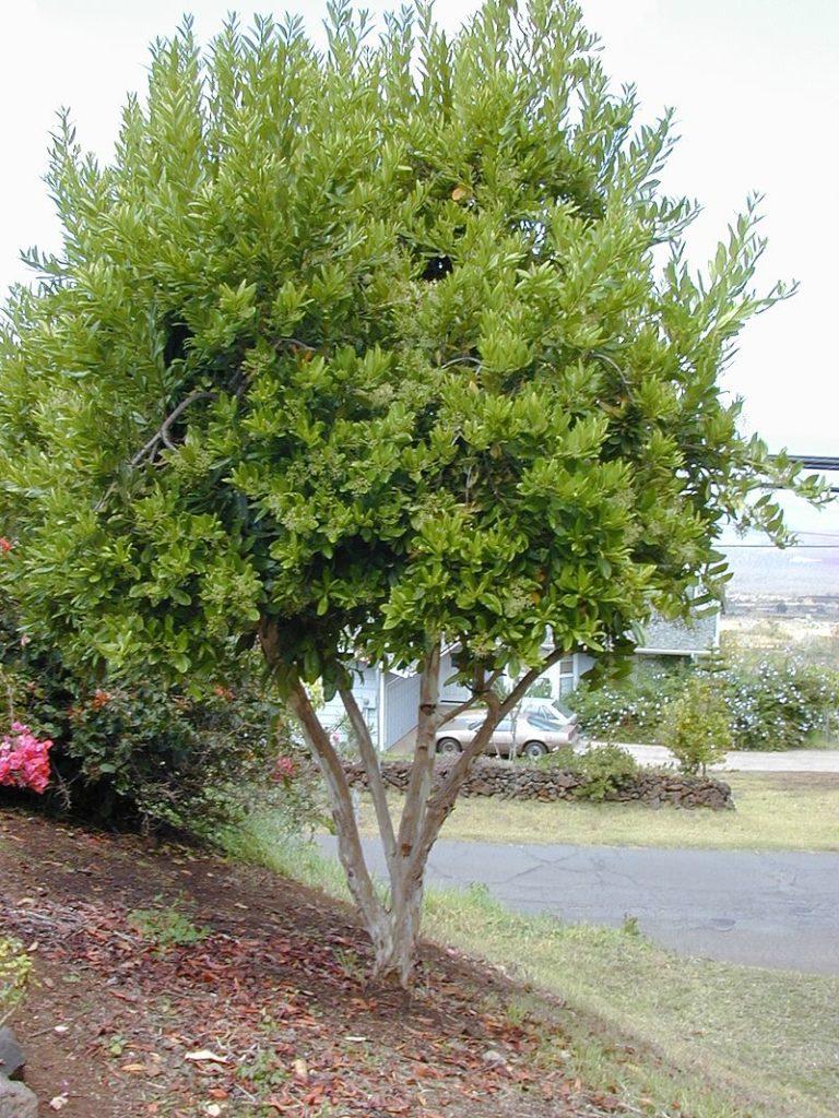 Душистый перец это плоды растения Пимента лекарственная (двудомная)