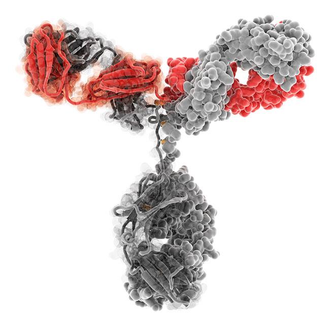 Структура Антитела иммуноглобулина IgG
