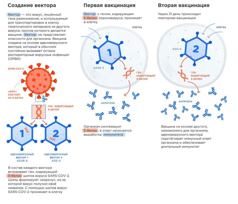 Принцип действия двухвекторной вакцины Спутник V