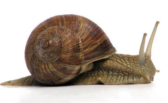 Улитка относится к брюхоногим моллюскам